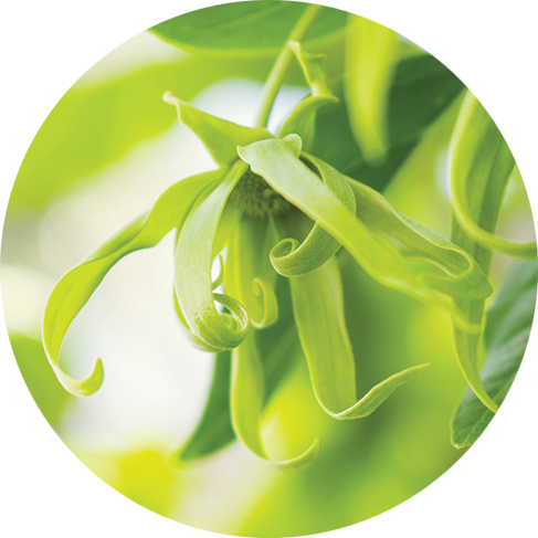 Queen of Ylang