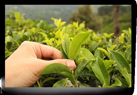 Pěstování čaje